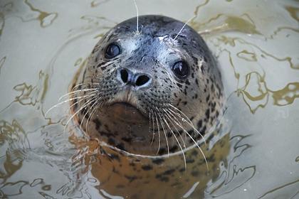 На Сахалине нашли расстрелянного наберегу моря тюленя